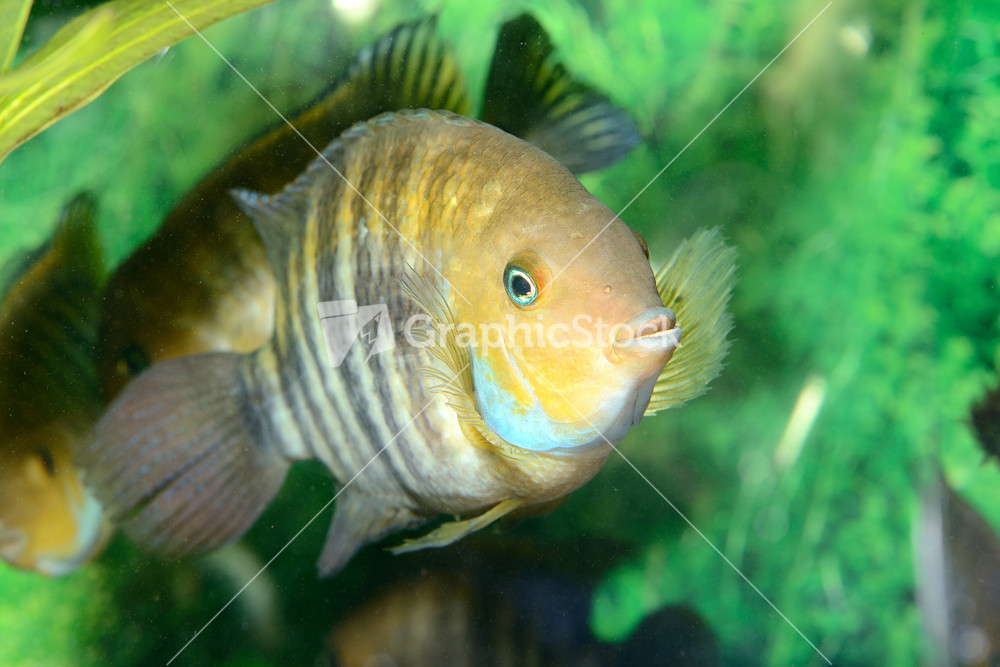 Cichlasoma sajica fish in aquarium for Fish and pets unlimited