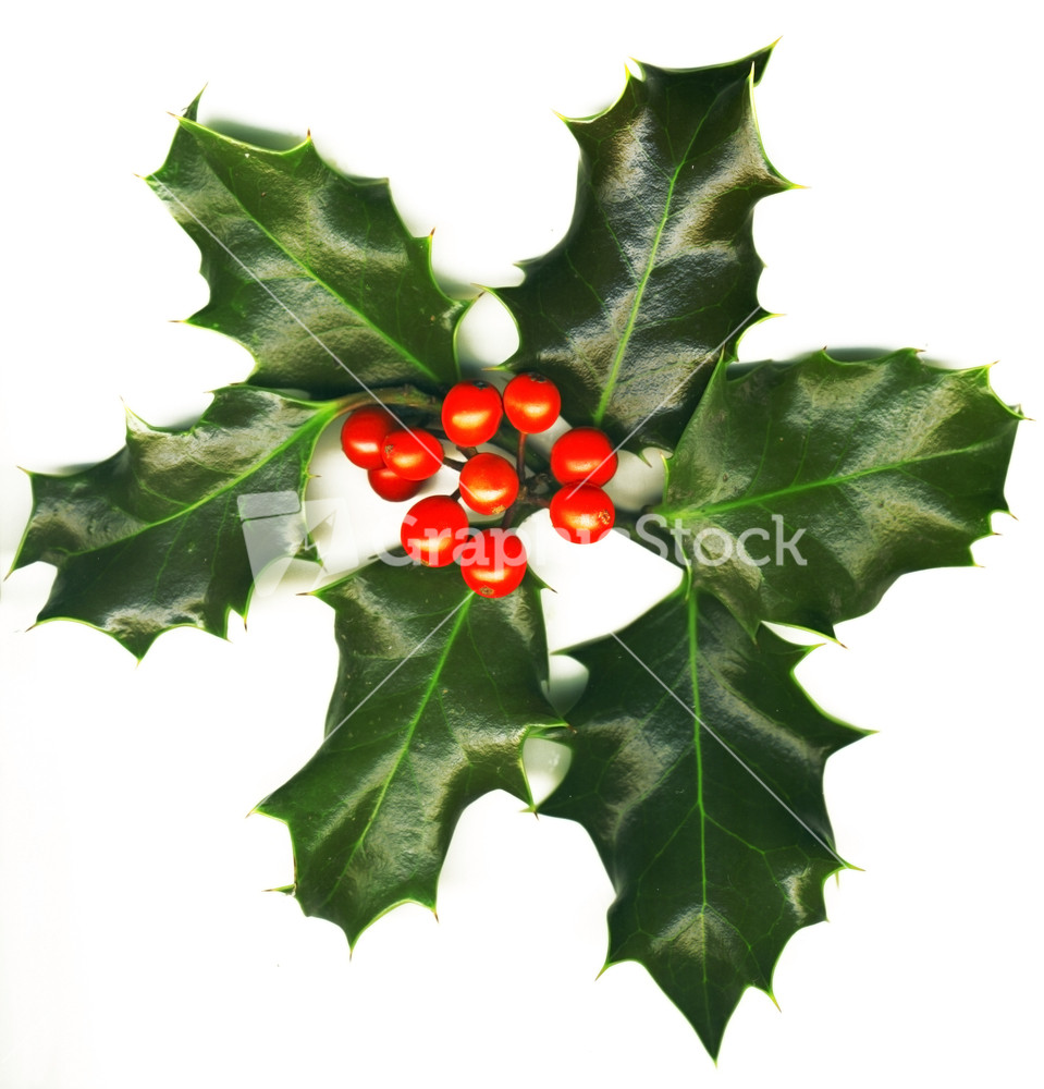 Christmas Decoration Isolated Holly With Berries On The