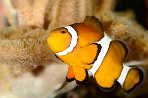 海洋水族館でカクレクマノミ