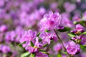 Pink Flowers In Spring