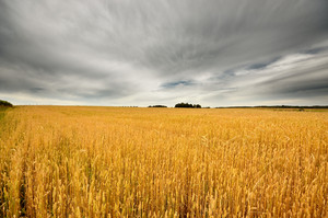 Wheat Field Scene