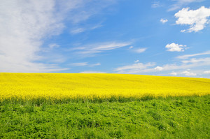 Yellow Field In Latvia