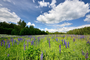 Lupine Flowers Field