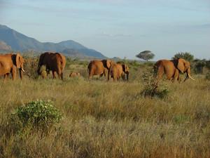 아프리카 사바나를 통해 코끼리 '마이그레이션