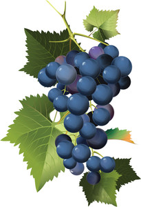 Grapes Vine Illustration